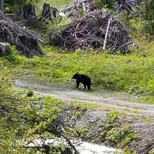 Bear taking a stroll